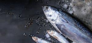 Características del atún: un pez fuera de lo común