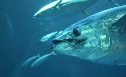 Conozca cuáles son algunos de los métodos de pesca del atún